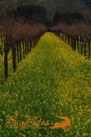 Napa-Vineyard-color-California-Big-Bites-Photography.jpg