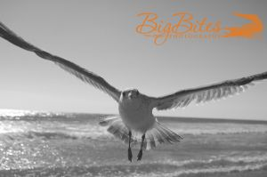 A-little-scary-b-and-w-Florida-Seagull-on-Beach-Big-Bites-Photography.jpg