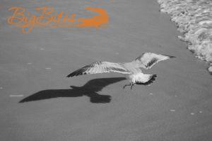 Bird-Shadow-b-and-w-Florida-Seagull-on-Beach-Big-Bites-Photography.jpg