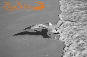 Dancing-Bird-b-and-w-Florida-Beach-Big-Bites-Photography.jpg
