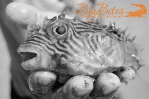 Ta-Da-1-b-and-w-Puffer-Fish-Florida-Big-Bites-Photography.jpg