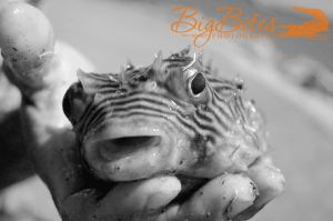This-Guy-Got-Thrown-Back-b--and-w-puffer-fish-Florida-Big-Bites-Photography.jpg