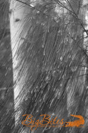 Tree-Cat-Tails-b-and-w.jpg