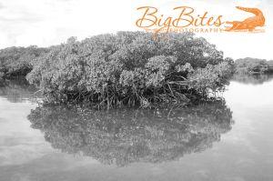 Tree-Reflection-b-and-w-Bahamas-Big-Bites-Photography.jpg