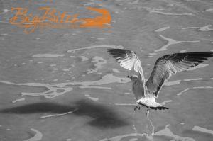 Yoga-bird-b-and-w-Florida-seagull-on-beach-Big-Bites-Photography.jpg