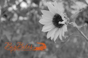 sunflower-bw.jpg