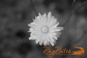yellow-flower-b-and-w-Big-Bites-Photography.jpg