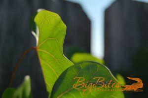 Leaf-and-Fence-Big-Bites-Photography.jpg