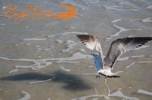 Yoga-bird-Seagull-on-Florida-Beach-Big-Bites-Photography.jpg
