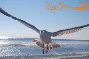 A-little-scary-color-Florida-Seagull-on-beach-Big-Bites-Photography.jpg