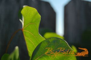 Leaf-and-Fence--Florida-Big-Bites-Photography.jpg