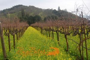 Mustard-Flowers-1-color-Napa-Valley-California-Big-Bites-Photography.jpg