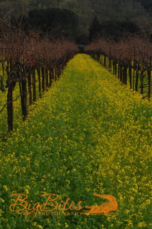Napa-Vineyard-color-California-Big-Bites-Photography.jpg