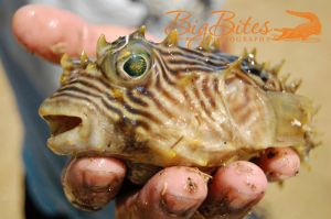 Ta-Da-1-Puffer-Fish-Florida-Big-Bites-Photography.jpg