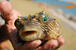 This-Guy-Got-Thrown-Back-co-Puffer-Fish-Florida-Big-Bites-Photography.jpg