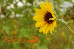 sunflower-Florida-Big-Bites-Photography.jpg